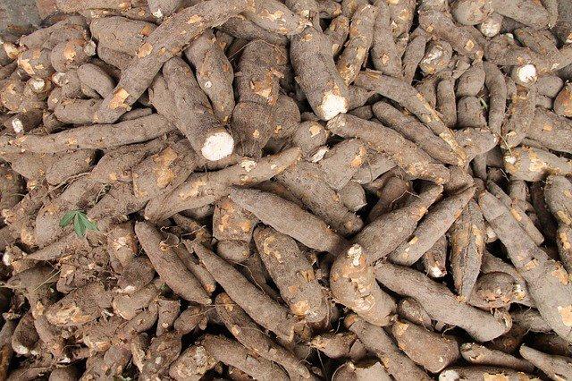 Cassava poisonous