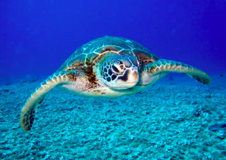 A sea turtle in the ocean.