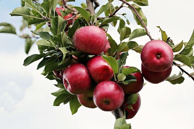 Apples long shelf life
